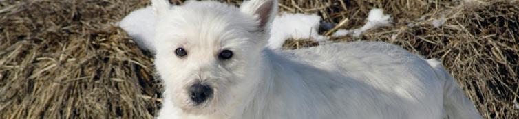 West Highland Terrier Puppies | Cedar Creek Kennels